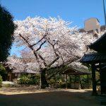 光林寺の桜 [南麻布]