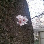 目黒川の桜 [五反田~目黒]
