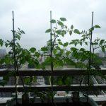 ベランダ菜園 – 定点観測 2014/06/07