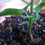 ベランダ菜園 – 種子から育った未知の植物を特定