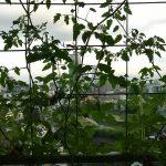 ベランダ菜園 – 定点観測 2014/07/06