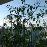 ベランダ菜園 – 定点観測 2014/07/13