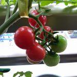 ベランダ菜園 – ミニトマトの初収穫