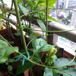 ベランダ菜園 – パッションフルーツ初開花