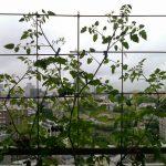ベランダ菜園 – 定点観測 2014/06/29