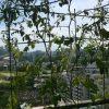 ベランダ菜園 – 定点観測 2014/08/03
