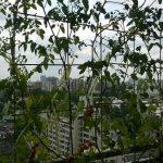 ベランダ菜園 – 定点観測 2014/07/20