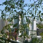 ベランダ菜園 – 定点観測 2014/07/27