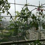 ベランダ菜園 – 定点観測 2014/08/17