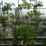 ベランダ菜園 – 定点観測 2014/09/07