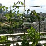 ベランダ菜園 – 定点観測 2014/08/25
