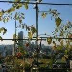 ベランダ菜園 – 定点観測 2014/10/19
