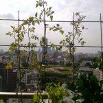 ベランダ菜園 – 定点観測 2014/10/04