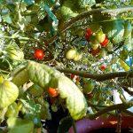 ベランダ菜園 – 定点観測 2014/11/30