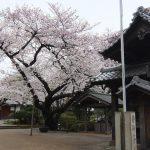 港区桜めぐり2015
