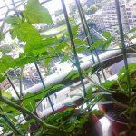 ベランダ植物観察記録2015 (1)