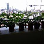 ベランダ植物観察記録2015 (3)