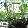 ベランダ植物観察記録2015 (4)