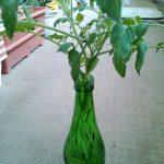 ベランダ植物観察記録2015 (5)