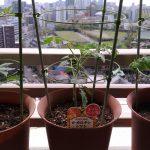 ベランダ植物観察記録2017(1)