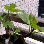 ベランダ植物観察記録2017(2)