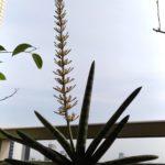 サンスベリア ボンセレンシスの花